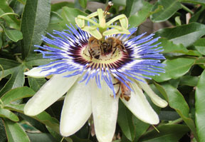 Passion-Flower-and-Bee