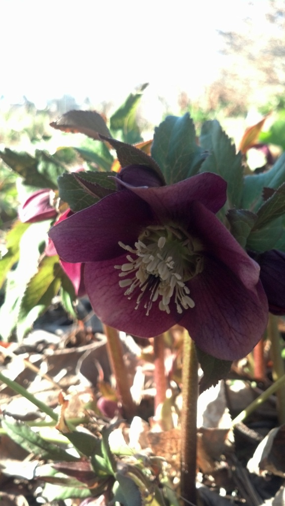 Hellebore flowers--one of the earliest bloomers